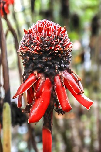 Flor etlingera elatior