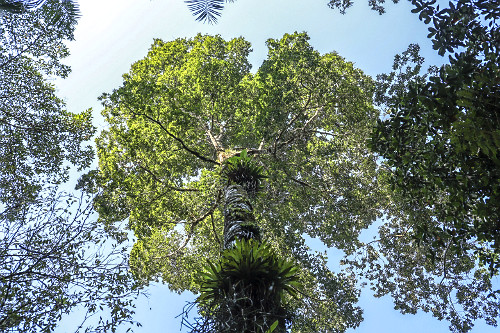 Árvore jequitibá