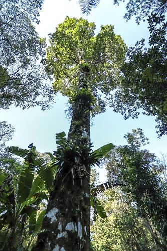 Vista de baixo de árvore jequitibá