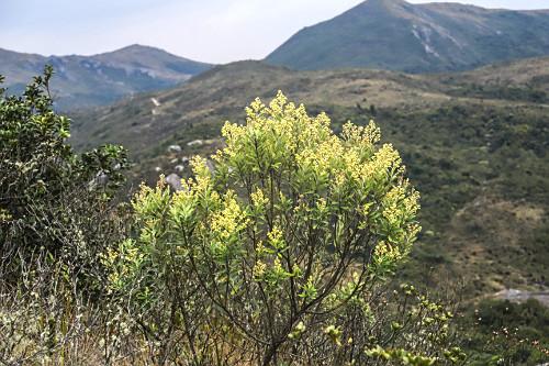 Arbusto florido no alto do Parque Nacional do Itatiaia