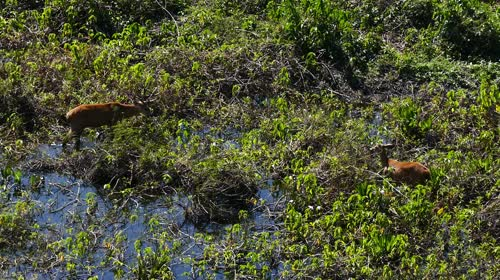 Cervo-do-pantanal - também denominado açuçuapara, veado-galheiro, suaçuapara, suaçuetê, suaçupucu e su�