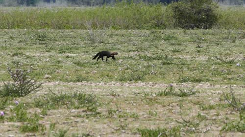 Irara - também denominado jaguapé, papa-mel e taira