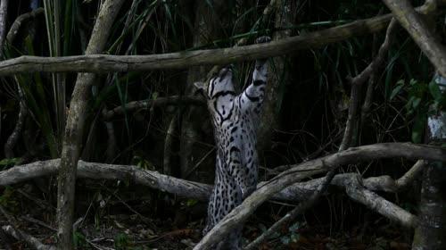 Jaguatirica - também denominada bracaiá, gatoaçu, gato-do-mato-grande, gato-maracajá, gato-mourisco, jacat