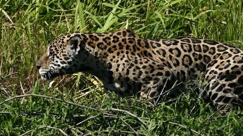 Onça-pintada caçando na margem do rio Cuiabá - espécie ameaçada de extinção - também denominada acangu
