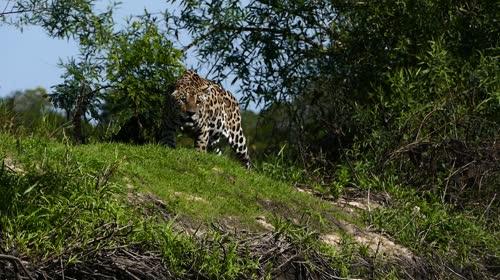 Onça-pintada caçando - espécie ameaçada de extinção - também denominada acanguçu, canguçu, jaguar, ja