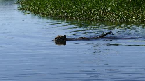 Onça-pintada atravessando o rio Cuiabá - espécie ameaçada de extinção - também denominada acanguçu, ca