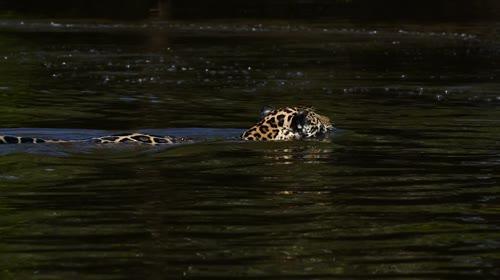 Onça-pintada caçando no rio Cuiabá - espécie ameaçada de extinção - também denominada acanguçu, cangu