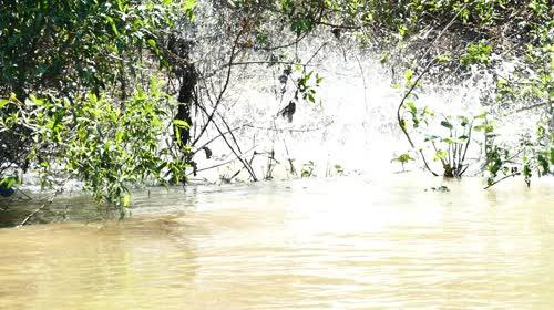 Onça-pintada atacando presa no rio Cuiabá - espécie ameaçada de extinção - também denominada acanguçu,
