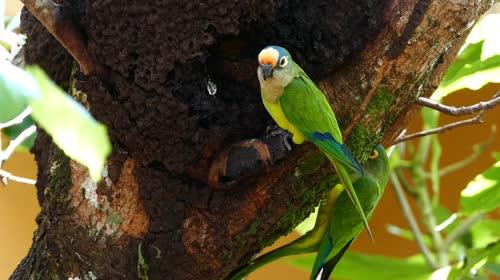 Periquito-rei - também denominado periquito-estrela, ararinha, cabecinha de coco, jandaia-estrela, jandaia-co