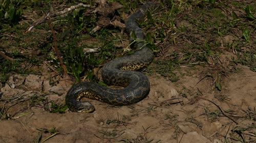 Sucuri verde - também denominada anaconda, arigboia, boiaçu, boiçu, boiguaçu, boioçu, boitiapoia, boiuçu