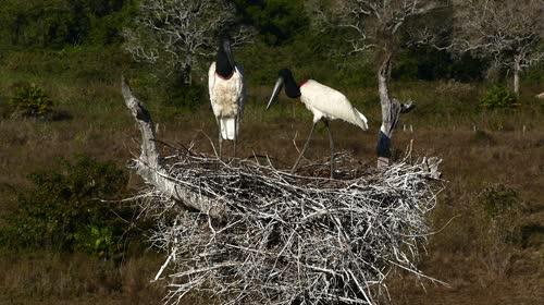Casal de tuiuiús no ninho - também denominados jaburru, jaburu, tuim-de-papo-vermelho e cauauá