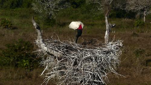 Tuiuiú no ninho - também denominados jaburru, jaburu, tuim-de-papo-vermelho e cauauá