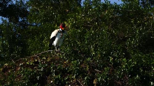 Urubu-rei - também denominado corvo-branco, urubu-real, urubu-branco, urubutinga, urubu-rubixá, urubu-preto-